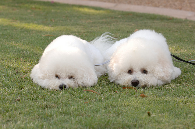 bichon frise french dog att;Al_HikesAZ http://www.flickr.com/photos/alanenglish/417132933/sizes/z/in/photostream/