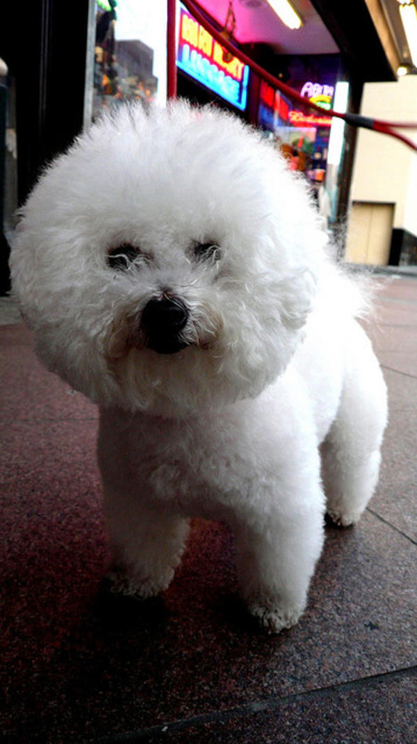 Bichon Frise standing att;Ubi Desperare Nescio http://www.flickr.com/photos/ubidesperarenescio/2906638554/sizes/z/in/photostream/