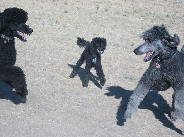 poodles black poodles cute dogs att;tracy out west http://www.flickr.com/photos/altmania/2767924673/sizes/z/in/photostream/