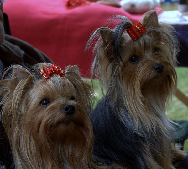 yorkshire terrier twins ribbon att;bodzasfanta http://www.flickr.com/photos/bodzasfanta/2935004487/sizes/z/in/photostream/