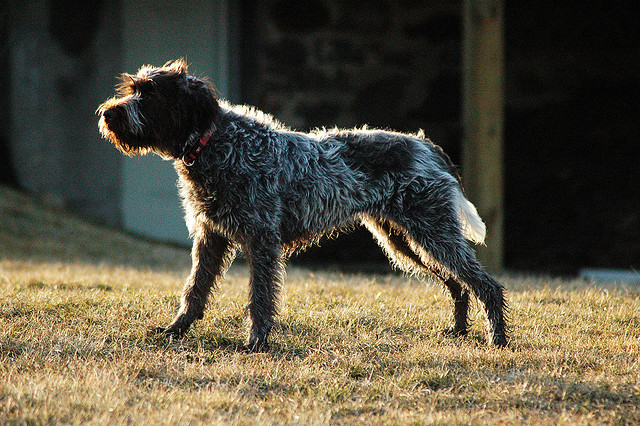 wirehaired pointing griffon  french dog att;rse75  http://www.flickr.com/photos/rse75/4466093684/sizes/z/in/photostream/